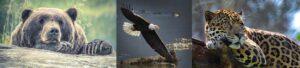 Bear eagle and jaguar wild animals