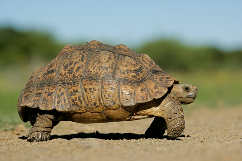 African Mountain Tortoise. Slow and steady